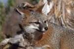 Threats to Survival of the Gray Fox