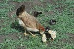 How to Care for the Broody Hen & Her New Hatch