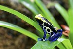 Are Poison Dart Frogs Omnivores?