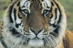 Three Reasons the Siberian Tiger Is Endangered