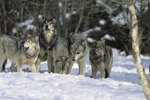 Wolf Packs & Their Pecking Order