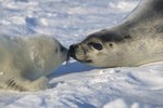 Interesting Facts About Harp Seals