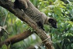 What Type of Animal Is an Asian Palm Civet?