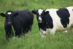 What Organisms Help Cows Digest Food?
