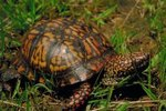 Box Turtle Habitat & Nesting Areas