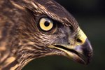 The Behavior of the Red-Tailed Hawk