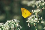 Life Cycle of an Orange Sulphur Butterfly