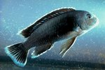 Information on the Cobalt Blue Cichlid