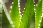 Internal Uses of Aloe Vera for Dogs