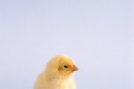 Can a Baby Chick Be Revived When It Gets Too Cold?