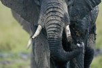 Description of African Elephants