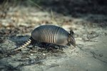 Difference Between Male & Female Giant Armadillos