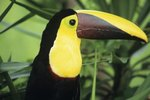 The Life of a Toucan