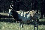 Types of African Antelope Oryx