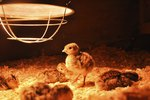 How to Make a Heat Lamp for Chicks