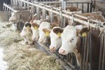 What Are the Causes of Hair Loss in Cattle?