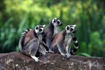 Animals Related to Lemurs