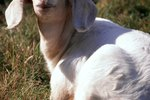 Can Goats Be Born Blind?
