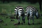 What Are Some Adaptations Where a Zebra & a Horse Are Different?