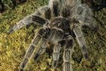 How Do Tarantulas Eat?