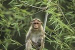 How Do Rhesus Monkeys Raise Their Young?