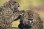 Types of Monkeys That Live in the Savannas