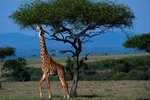 Other Animals in a Giraffe's Community