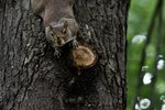 How Do Squirrels Hang Upside Down on Trees?