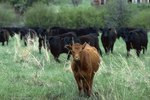 The Differences between Black Angus & Chianina Cows