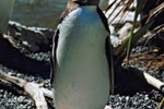 Interesting Facts About the Yellow-Eyed Penguin