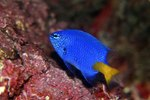 Blue Damselfish Mating Habits