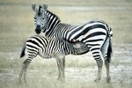 How Much Does a Fully Grown Zebra Weigh?
