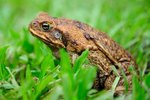 Cane Toad Toxin