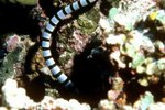 Mating Behavior of the Sea Snake