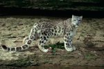 Himalayan Snow Leopard History