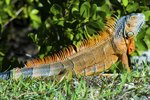 Cheap Ways to Build an Iguana Cage
