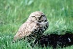 How Does a Burrowing Owl Care for Its Young?