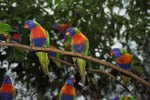 Adaptations of the Lorikeet