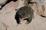 Care of a Sonoran Desert Toad
