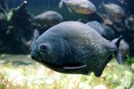 Biggest Piranha in the World