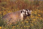 Arizona Badger Species