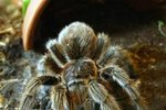 Signs of Tarantulas Molting