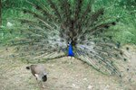 What Kind of Nests Do Peacocks Build?