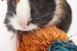 Homemade Toys for a Guinea Pig