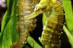Why Do Male Seahorses Give Birth?
