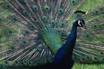 What Are the Indian Peacock's Predators?