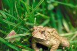 Hibernation Eating Habits of the American Toad