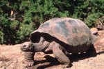 The Desert Tortoise's Diet