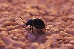 Facts on Beetle Insects