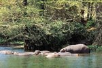 Where Are Hippos Mostly Found?